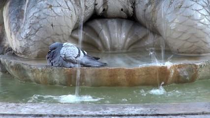 City doves bathe in the fountain at Rome, Italy