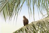 Black kite (Mulvus Migrant) on a palm tree branch, Senegal poster