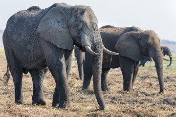 Elephants feeding in Chobe national Park, Botswanna