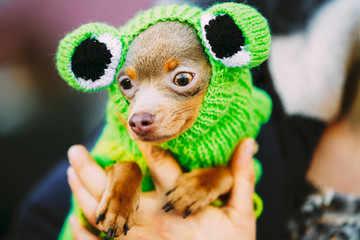 Beautiful Tiny Chihuahua Dog Dressed Up In Frog Outfit