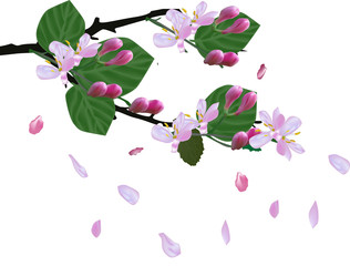 spring blossoming branch and falling petals isolated on white