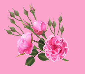 rose blooms and buds isolated on pink background