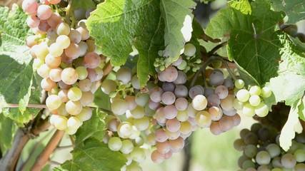 Weintrauben weiß und rot