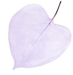 isolated light lilac leaf skeleton