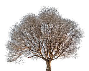 isolated brown bare tree in hoarfrost