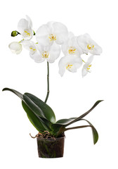orchid with large white blooms in pot