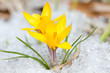 canvas print picture - Yellow crocuses