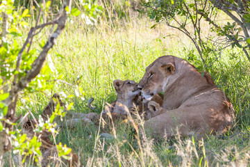 lion cub on the plains Kenya. mother with her baby