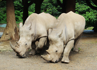 a pair of big rhinoceros