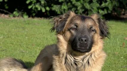 Hund liegt auf Wiese und schaut