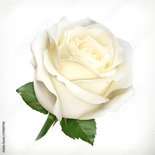 Staande foto Roses White rose, vector illustration