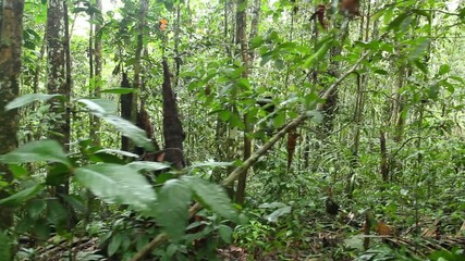 Interior of tropical rainforest tracking shot, Ecuador