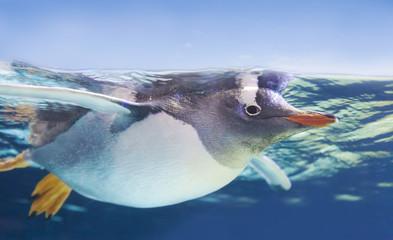 Gentoo penguin swimming underwater