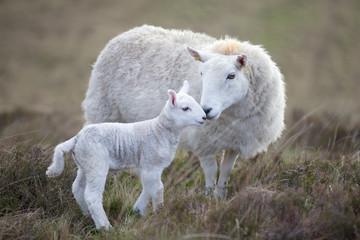 Sheep and lamb on moorland