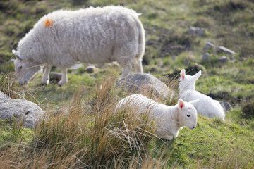 Sheep and lambs grazing on moorland