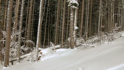 Beautiful snow-covered dense forest.
