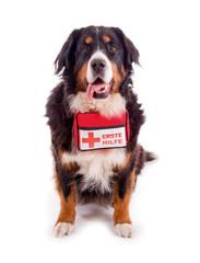 Berner Sennenhund mit Erste Hilfe Paket