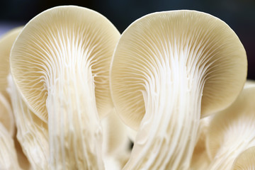 Fresh organic Phoenix mushroom [Indian Oyster] growing on soil i