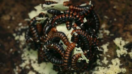 Swarm of beetle larvae eating a fungus in rainforest, Ecuador