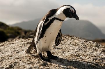 Pinguin Südafrika 2