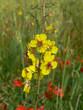 Verbasco (Verbascum blattaria)