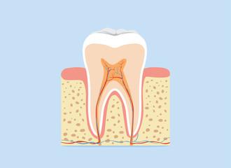 Tooth anatomy in flash design version