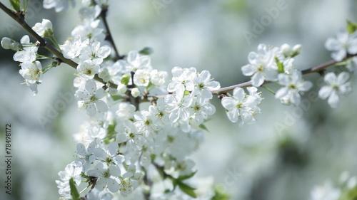 Keuken foto achterwand Paardebloemen en water white cherry flowers on spring time