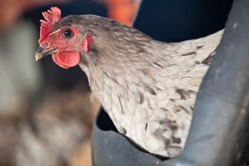 Hen portrait at free range hen house