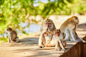 Monkey family in their natural environment, Bali