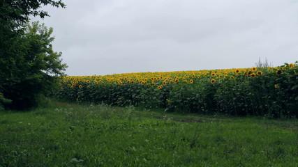 field of Sunflower