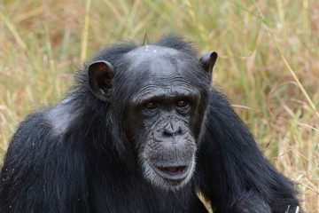 Smiling chimpanzee