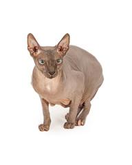 Nervous Hairless Sphynx Cat