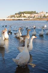 Geese at Badajoz Downtown