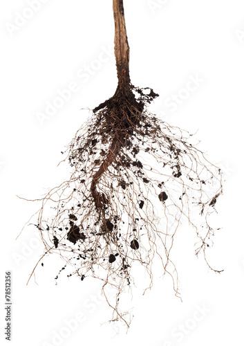 tree root - 78512356
