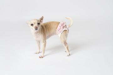Chihuahua in a diaper