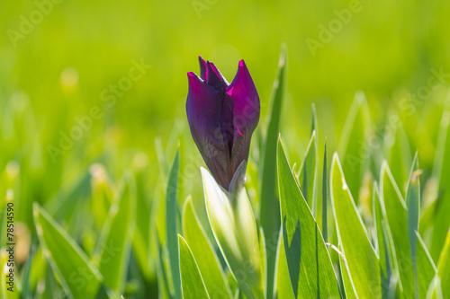 Foto op Canvas Iris bud iris blooms