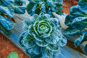 Frosted vegetables in the winter at Doi Ang Khang, Thailand