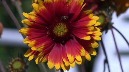 gerbera flower with insects
