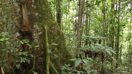 Walking to a large rainforest tree with buttress roots
