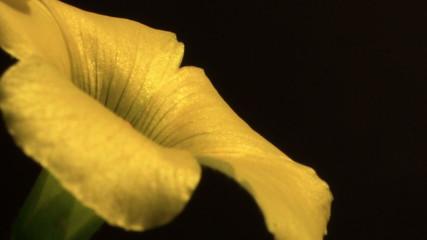 Close up flower petal time lapse