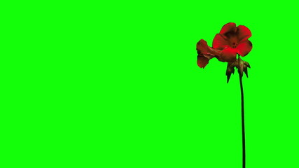 Red flower growing time lapse green screen