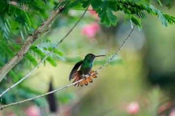 colibri - oiseau Costa rica