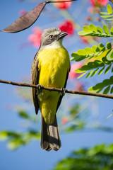 oiseau jaune - Costa Rica