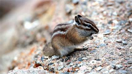 Wild chipmunk sitting on rock and eating peanut