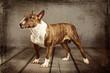 Miniatur Bull Terrier