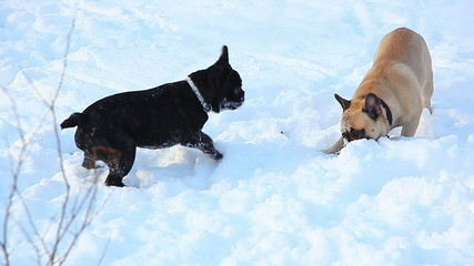 French bulldogs playing in the snow
