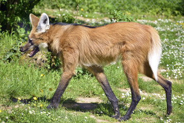 Maned Wolf walking on grass