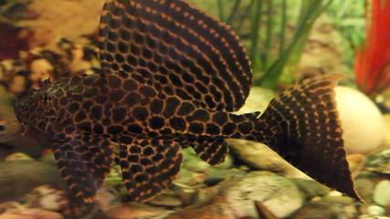 catfish swimming in aquarium
