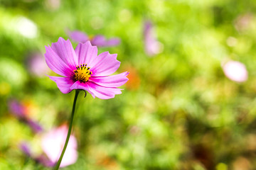 Cosmos flower in garden