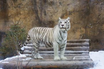Бенгальский (белый) тигр